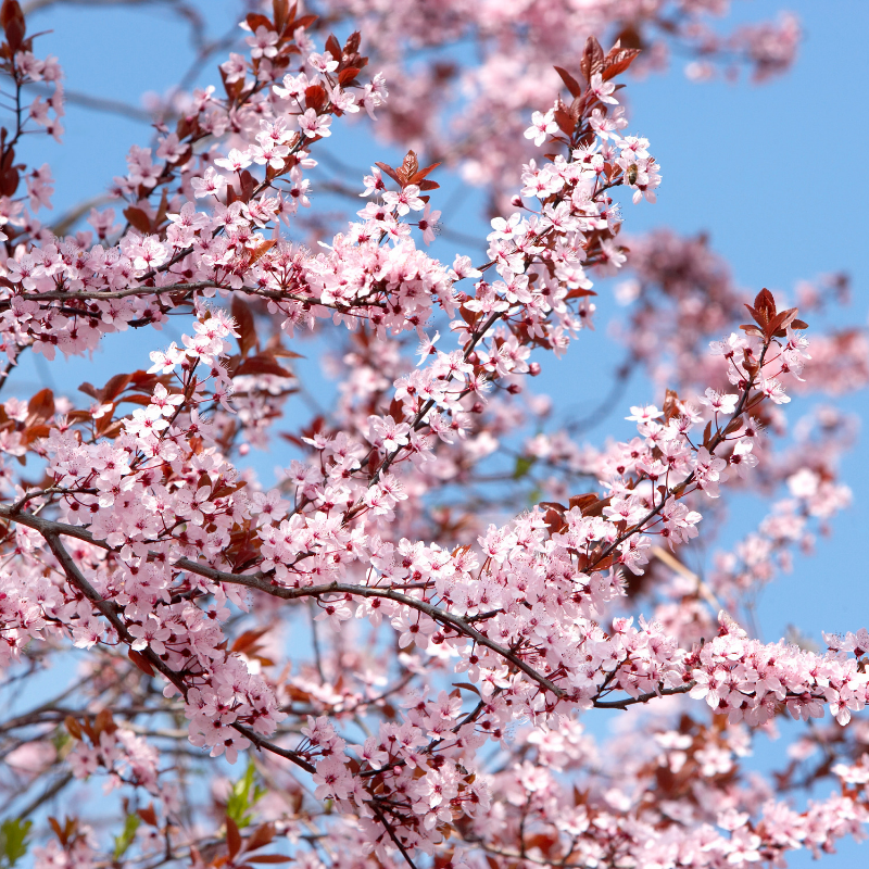 03-11-2019-Cherry-Blossoms